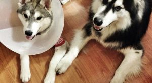 18 Huskies Who Lead The Pack In Dogshaming