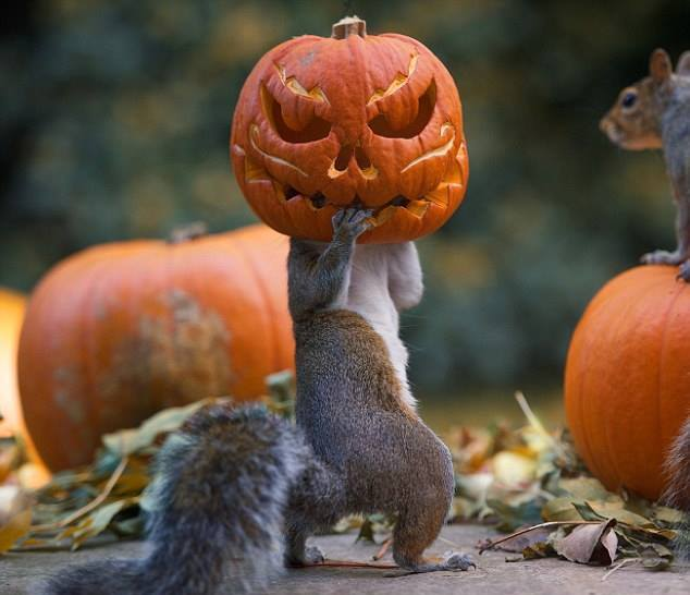 PetsLady's Pick: Hilarious Squirrel Jack O'Lantern Of The Day … see more...