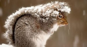 Love Quotes : Squirrel in Snow by Ray Yeager, nationalgeographic #Squirrel explore Pintere...