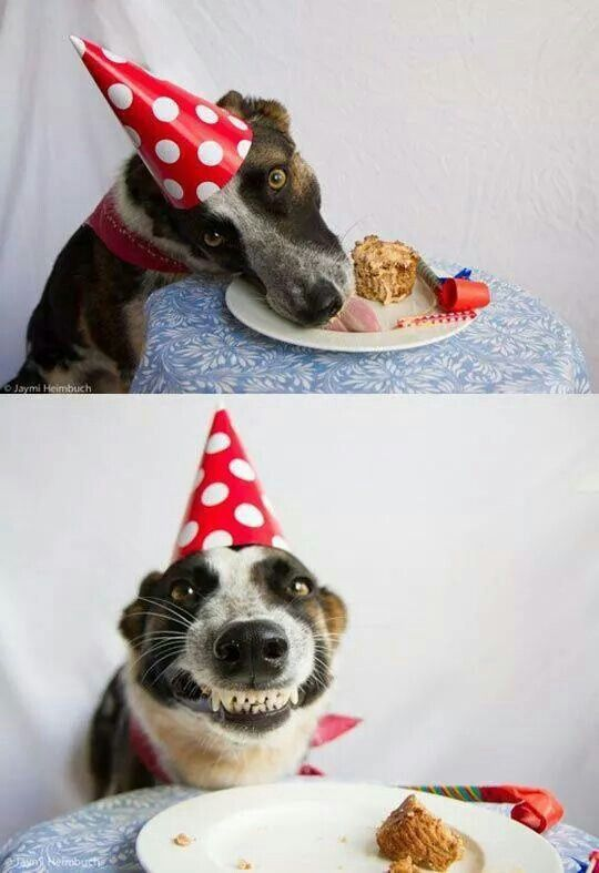 Dying smiling dog having a go at his birthday cake. Priceless!