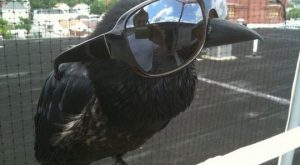 One cool corvid