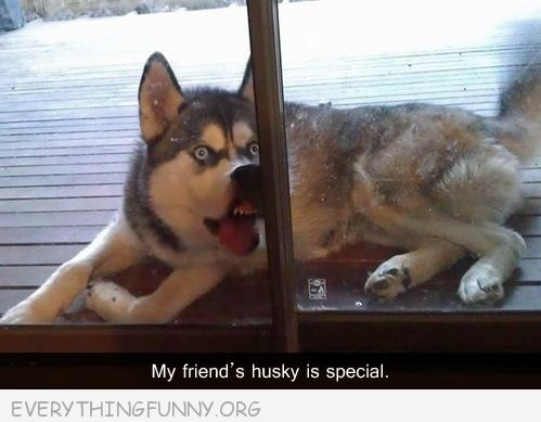 funny caption my friend's husky is special
