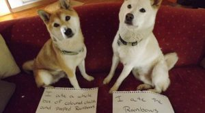 dogs-who-are-shamelessly-proud-of-what-they-just-did-31