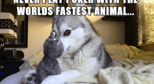 15 All New Hilarious Huskies With The Best Dad Jokes