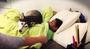 This hilarious husky was all snuggled up with his favorite human when mom came…
