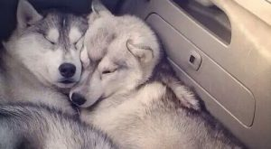 Imagen de dog, husky, and animal