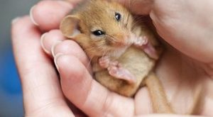 """Dormice are an endangered species and mainly found in the southern counties of Brit..."