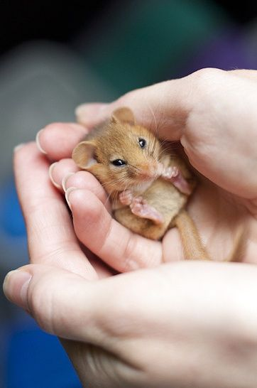 """""""Dormice are an endangered species and mainly found in the southern counties of Brit..."""