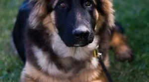 Gorgeous German Shepherd