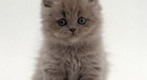 See more on Litter Size of Persian Cats
