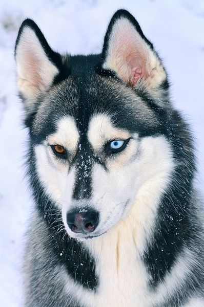 Now thats dog! Black and White Husky