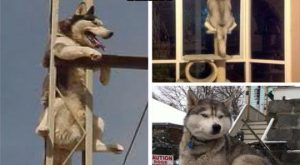 funny-huskies-climbing-dont-care