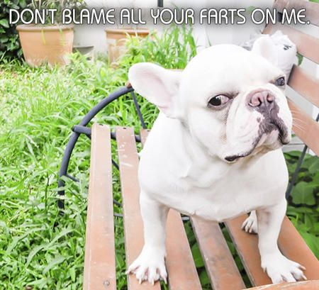 White French Bulldog Puppy with Funny Caption