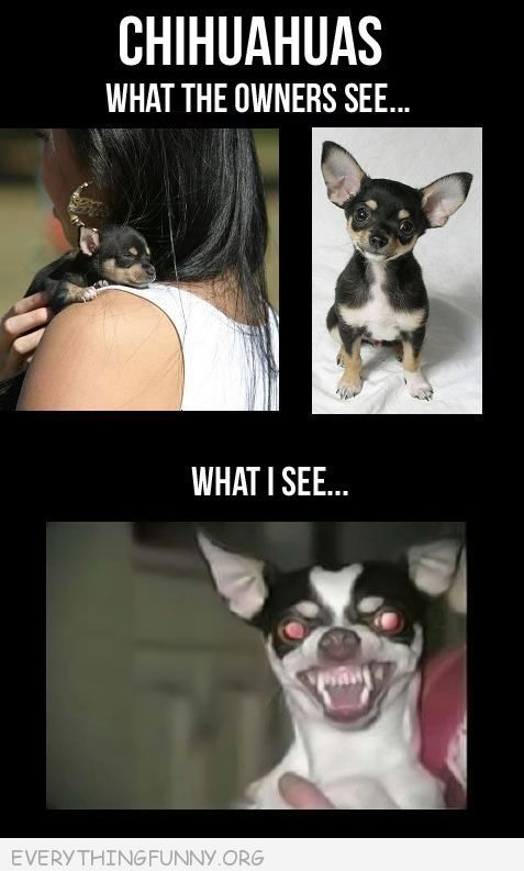 funny caption picture chihuahuas what owner sees what i see