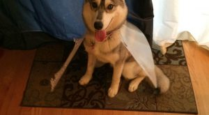 Our husky turned the cone of shame into the cape of defiance