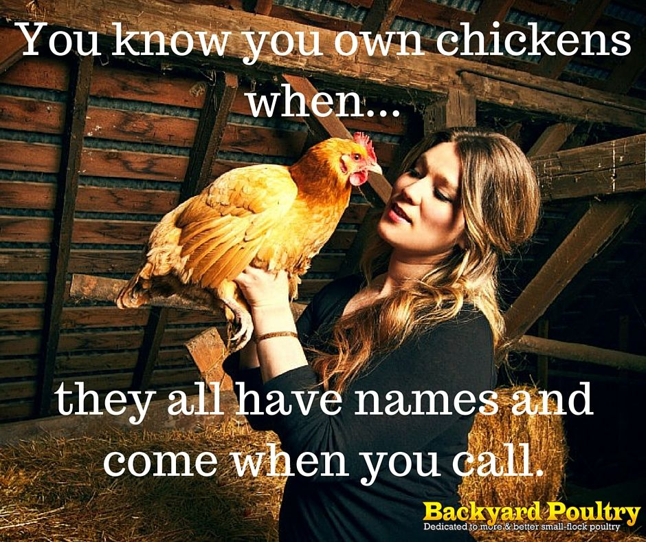 chicken quote/funny More