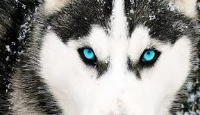 Amazing Siberian Husky: Amazing and Smart Siberian Husky Dog ganeschabottest