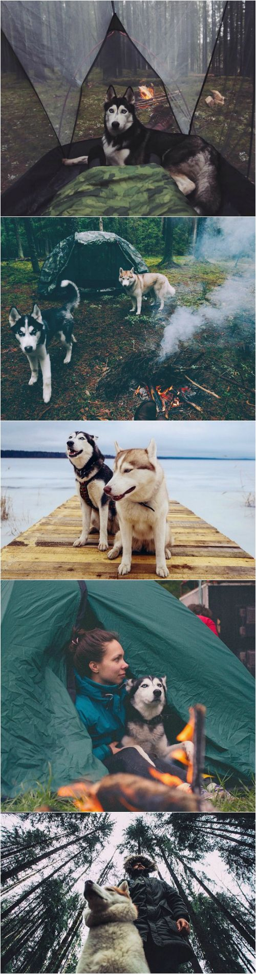 Siberian huskies make excellent partners for cold weather camping. ganeschabottest