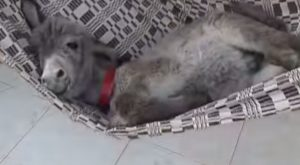 Baby Donkey Meets a Hammock and the Results are Hilarious (VIDEO)