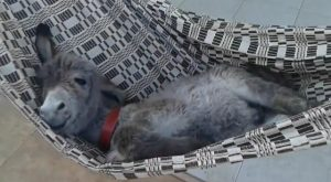 Baby Donkey Meets a Hammock and the Results Are Hilarious
