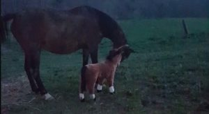 Perplexed Horse Hilariously Kicks Over the Helpless Plush Toy Pony That Her Human Set…