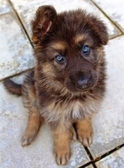 German Shepard Puppies — CLICK Visit link above for more info #GermanShepardBaby exp...