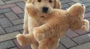 Golden puppy and his stuffed animal cute puppies cats animals