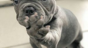 "loving this precious frenchie!! #frenchbulldog explore Pinterest""> #frenchbulldog..."