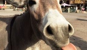 Image result for royalty images of donkeys with tongue hanging out