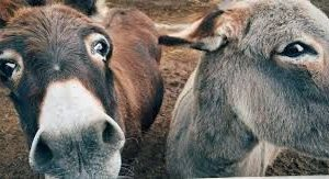 Image result for Donkey fur