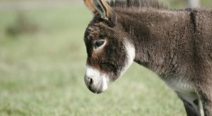 Image result for What is the most common color of donkeys?