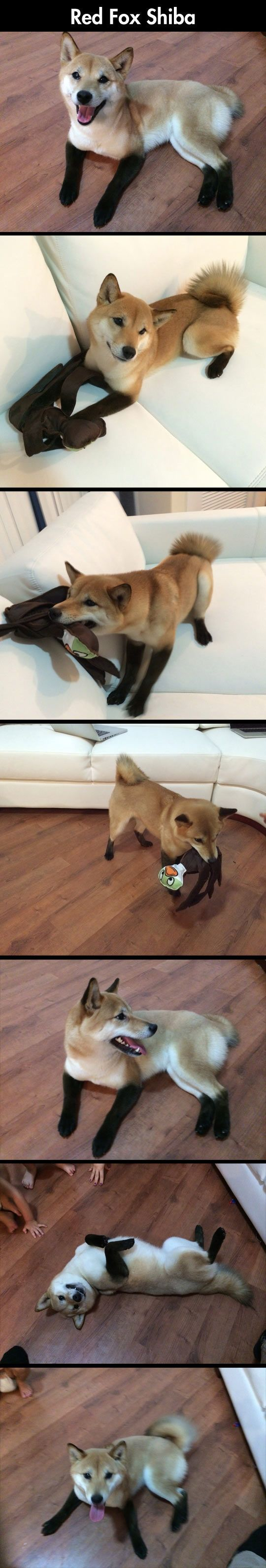 Cute Little Domestic Fox // funny pictures – funny photos – funny images -…