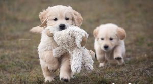"Golden Retriever #goldenretrievermix explore Pinterest""> #goldenretrievermix #golden..."