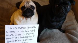 15 Guilty Pugs Being Shamed for Their Pug Crimes – Gujasakol