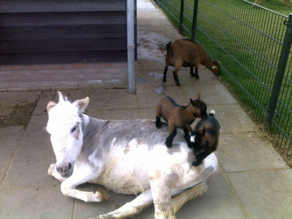 """Goats playing """"the floor is lava"""" on a donkey. – Imgur"""
