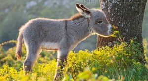 Sardinian Donkey Foal Standing In Yellow Flowers France