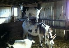 pictures of goats doing funny things – Google Search