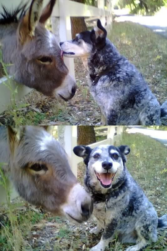 cattle dog giving a mule a lick. sweet!