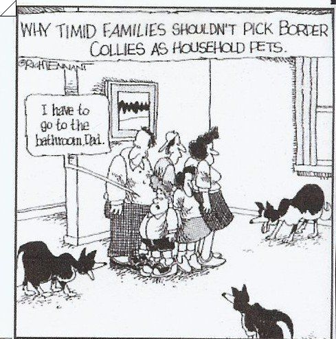 Border Collie Humor—-Pretty sure I was herded into the kitchen last night