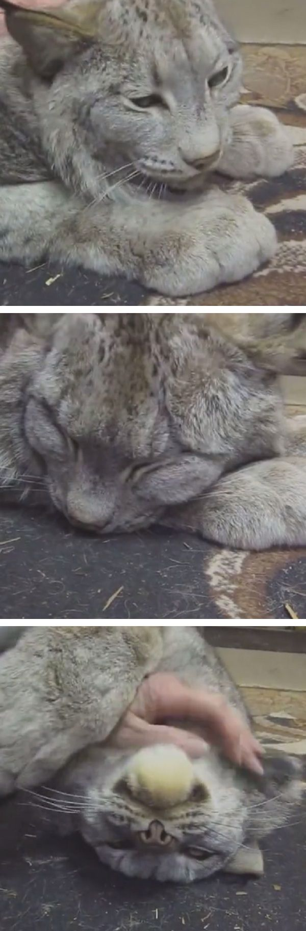Huge Lynx Purrs Just Like A House Cat When A Human Pets His Head…