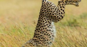 'Be Different' by Mohammed Alnaser. A cheetah does it his way in Kenya. |…
