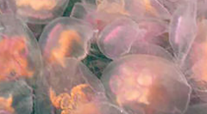 Dazzling Jellyfish Turn British Coast Into Multi Colored Marvel In Stunning Pictures #anim...