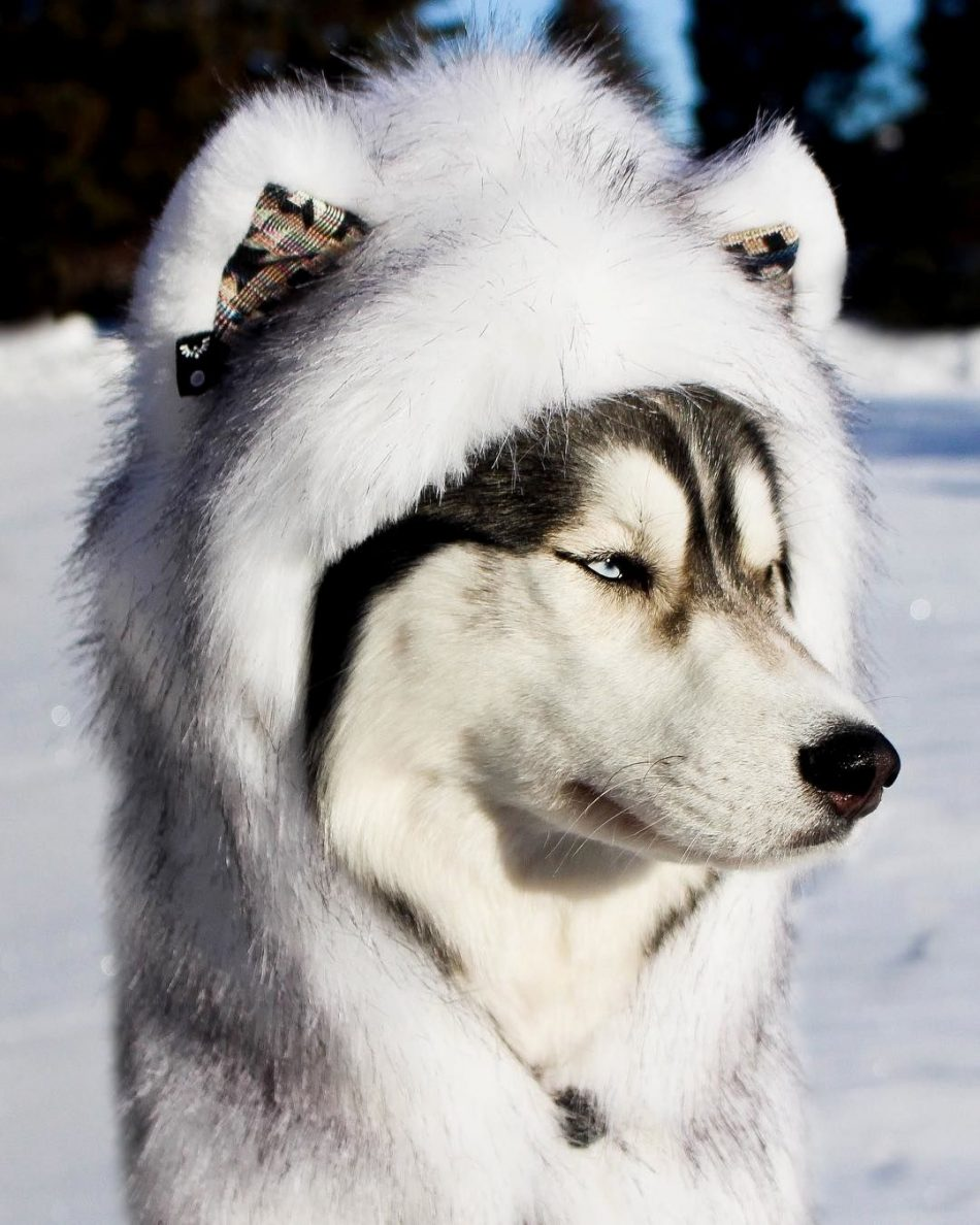 Does this make me look like a husky? – @angel_arthur101 Thanks for all the…