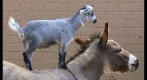 lmao I love my donkey and I wanna get a goat so this can…