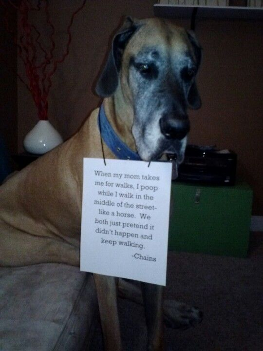 Great Dane. Dog shaming. Funny. When my mom takes me for walks, I poop…