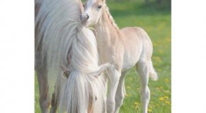 Haflinger Horses Cute Baby Foal With Mum Photo . Fleece Blanket – animal gift…