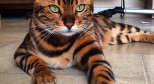 A Belgian Bengal Cat Whose Deep Green Eyes and Unique Markings Make Him a…