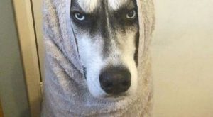 14 Funny Husky Memes That Will Make Your Day Brighter! | Page 2 of…