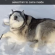 50 Photos Proving Huskies Are Majestic, Weird, And Hilarious