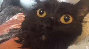 "Cat clearly says ""NO"" twice to bath time"